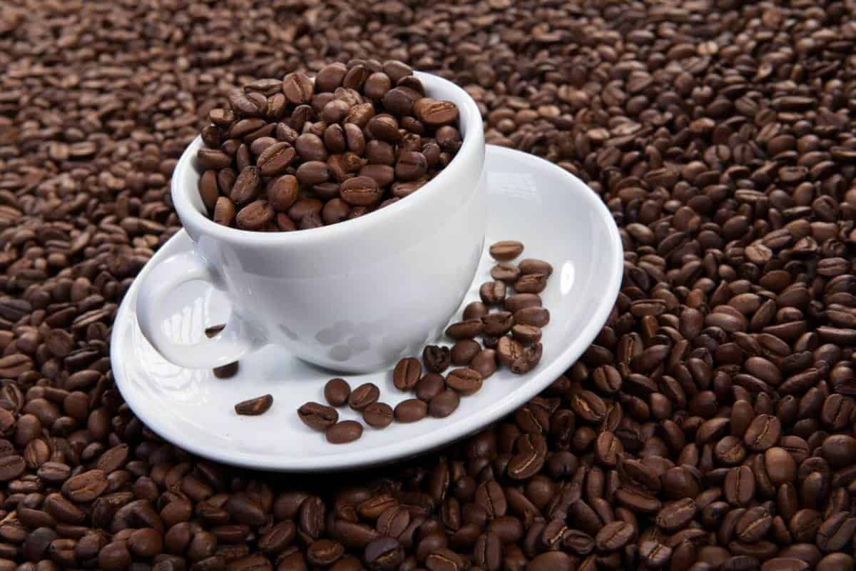 coffee beans contain caffeine in high amount
